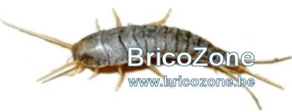 poisson-d-argent-poisson-dargent-lepismes-argentes-%20poissons-dargen-lepisme-argente.jpg
