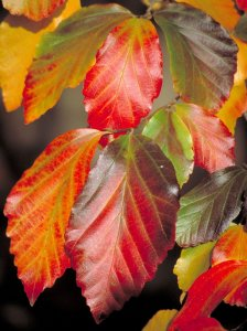 Parrotia persica feuilles 2.jpg