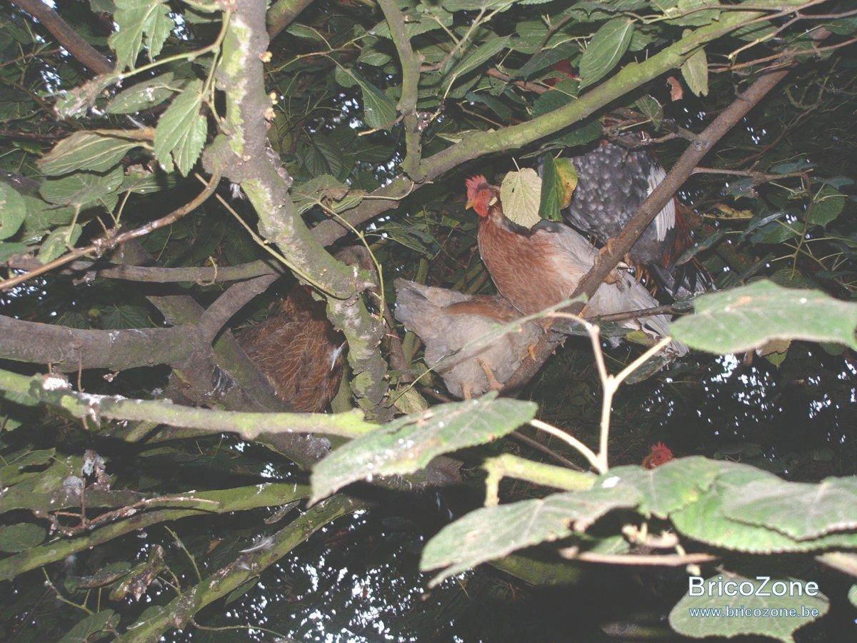 poules arboricoles 01.JPG
