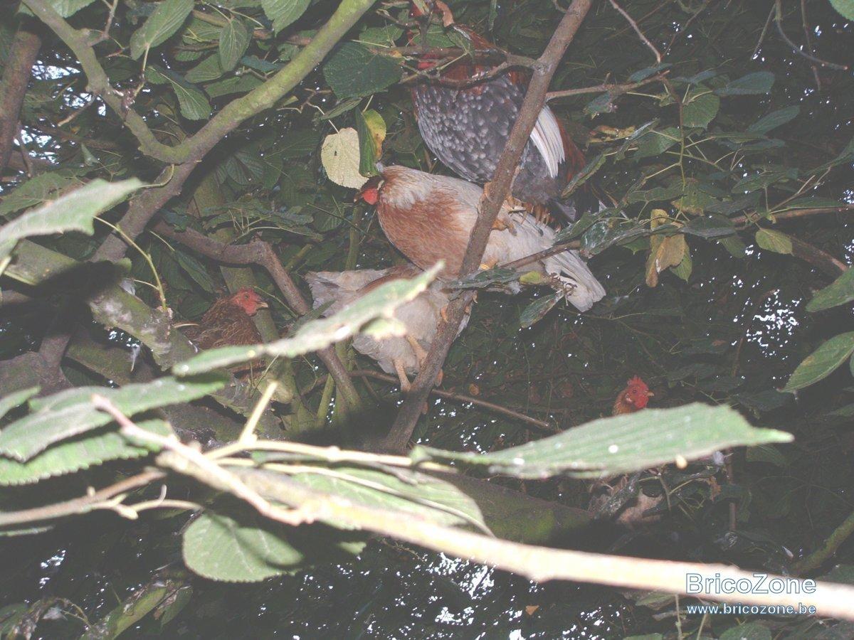 poules arboricoles 02.JPG