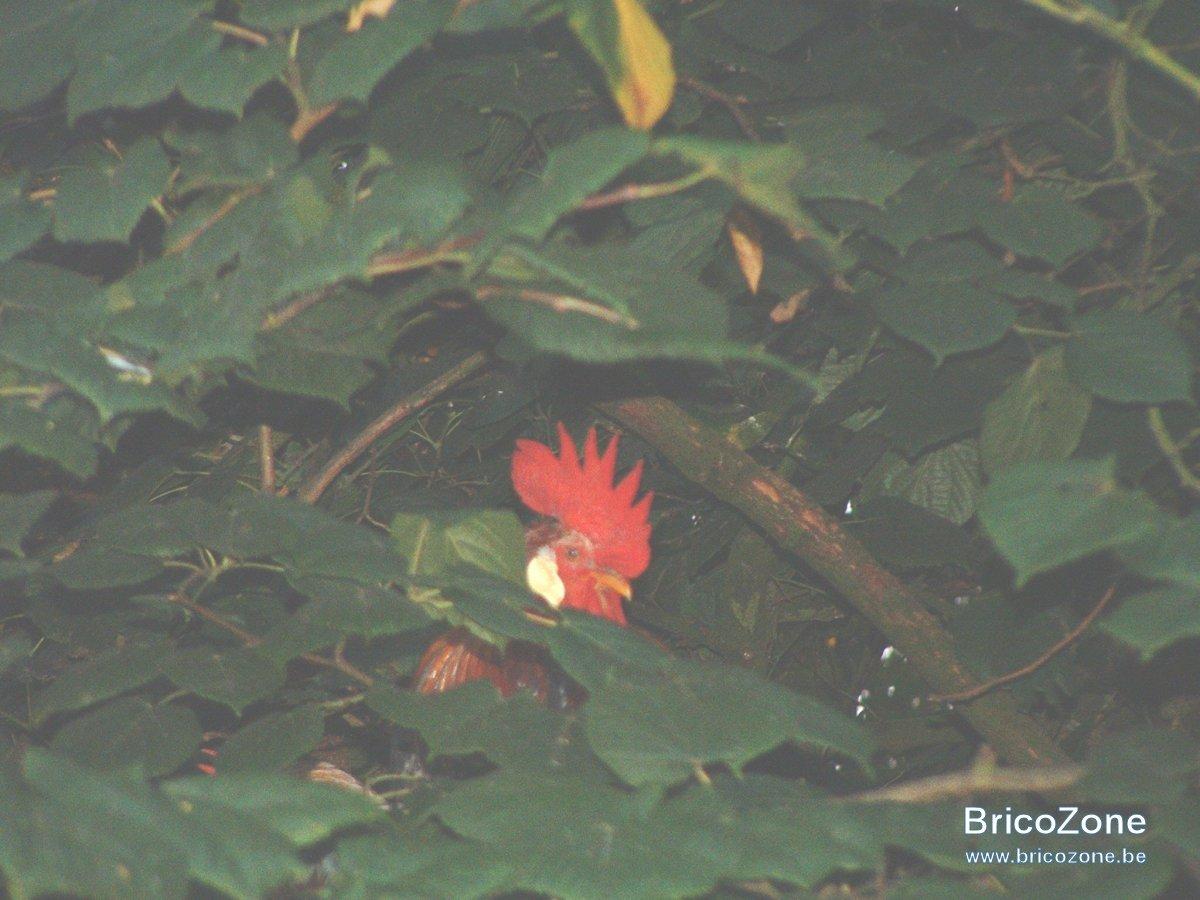 poules arboricoles 03.JPG