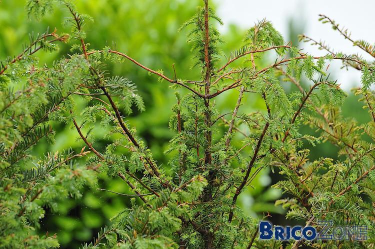 Haie de Taxus baccata qui meurt