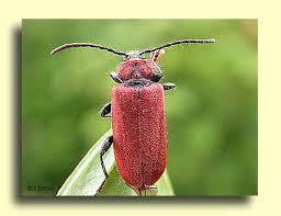 cet insecte est il dangereux. Black Bedroom Furniture Sets. Home Design Ideas