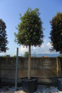 Arbres paliss�s