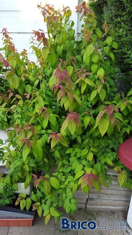 Qu'est ce ce buisson fruitier?