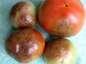 Tomates qui murissent mal