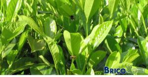 Et si on pensait à nos amies les abeilles lors du choix des plantations?