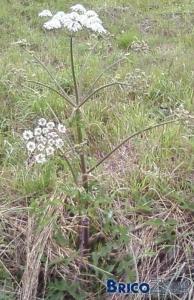 Identification mauvaise herbe. Berce du Caucase ?