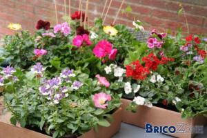 G�raniums et plantes de jardini�res � Li�ge