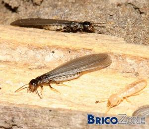 De quoi s'agit il ? Termites ?